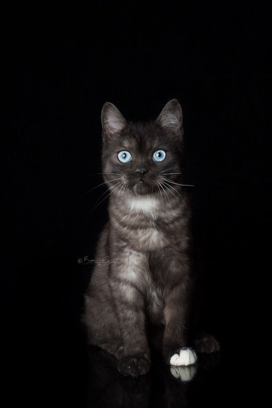 Sphynx Cats Kittens, NADA Sphynx, Devon Rex, Lykoi, Donskoy, Sphinx, esfinge, sphynx cats for sale, hairless cats for sale, sphynx kittens, sphynx breeders, sphynx for sale, sphynx kittens for sale, sphynx cat breeders, hairless cat breeders, hairless cat adoption, sphynx cat adoption, buy hairless cat, sphynx Florida, sphynx ontario, canadian sphynx, curly coated, werewolf,  Spring Hill, FL Outcrossing