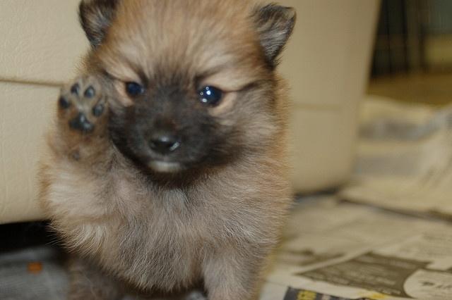 pomeranian mix puppies!    Like, repin, share! :)