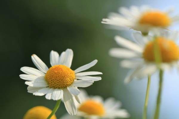 Ceaiurile din plante medicinale: binefăcătoare pentru sănătateCeaiurile din plante sunt o sursă bogată de compuși binefăcători precum polifenolii și