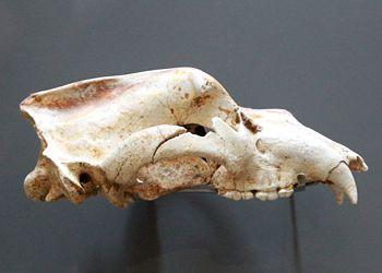 Crâne d'ours des cavernes