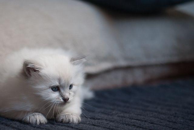 PRZYŚNIŁ MI SIĘ BIAŁY KOT czyli CZY KOTY PRZYNOSZĄ PECHA? » Dzika Bestia | Mała Domowa Hodowla Kotów Syberyjskich Neva Masquerade