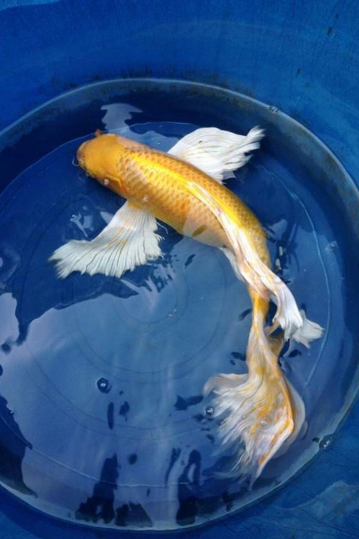 Yamabuki ogon butterfly koi pinterest koi aquariums for Ogon koi fish