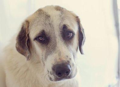 Kat - Anatolian Shepherd - 1 yr old - Female - DogsOnly - Little Rock, AR. - http://www.dogsonly.org/858pop.html - https://www.petfinder.com/petdetail/29973521/