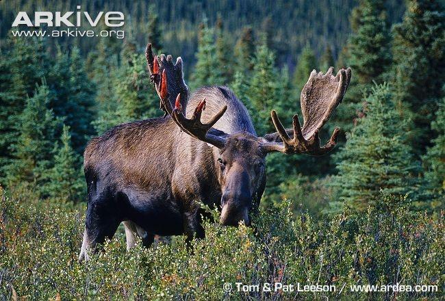 Google Image Result for http://cdn2.arkive.org/media/BB/BBD960CC-9414-4529-BC5D-DAE6376CBA32/Presentation.Large/Moose-bull-feeding-beginning-to-shed-antler-velvet.jpg