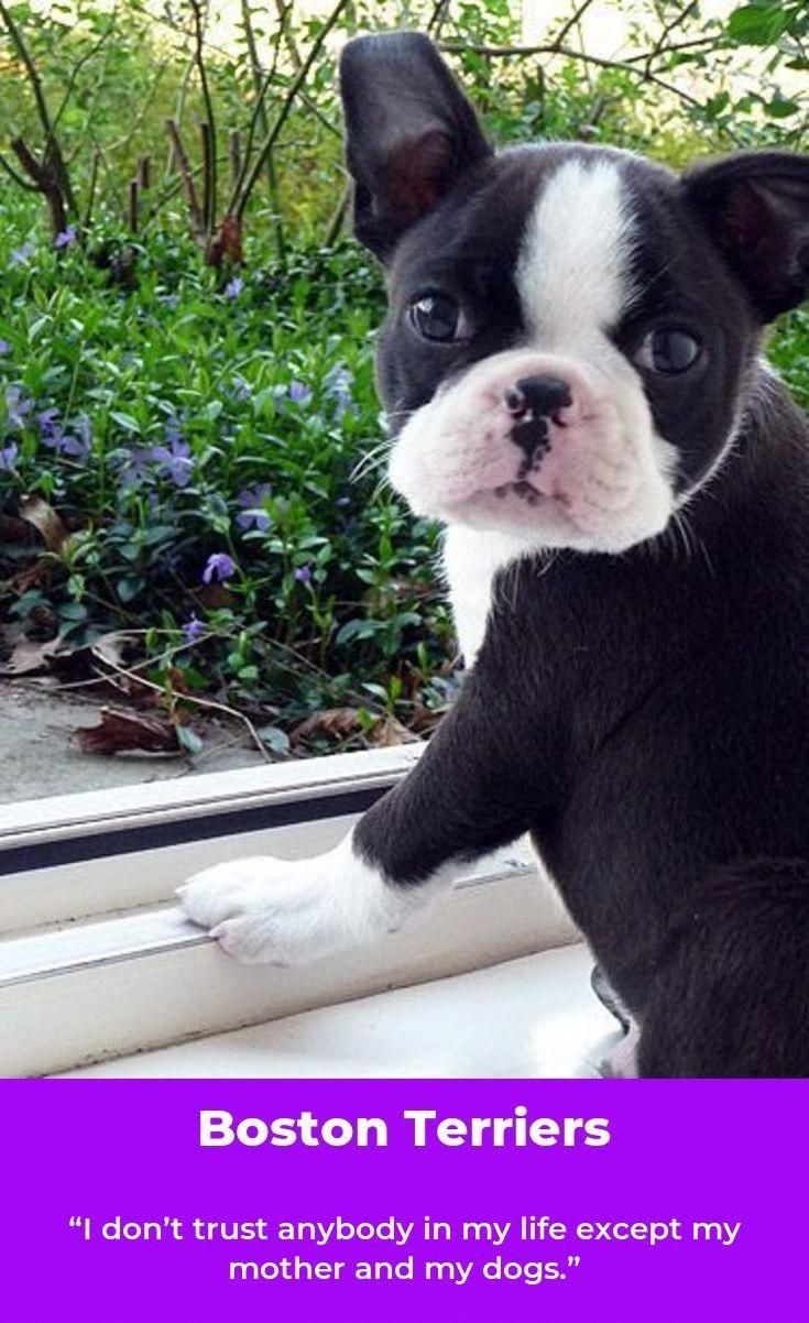 Find Out More On Boston Terriers Temperament