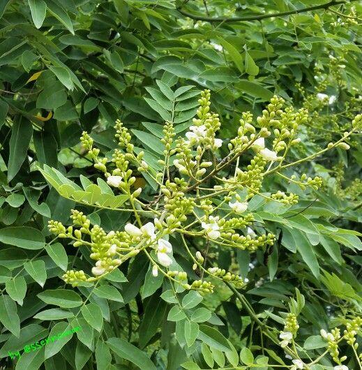 잎이 아까시 같기도 하고, 싸리 같기도 한... <회화나무>가 꽃을 피우고 있다.