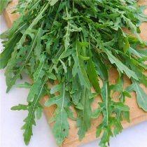 Roquette sauvage - Eruca sativa HORTIFLOR BUREAU
