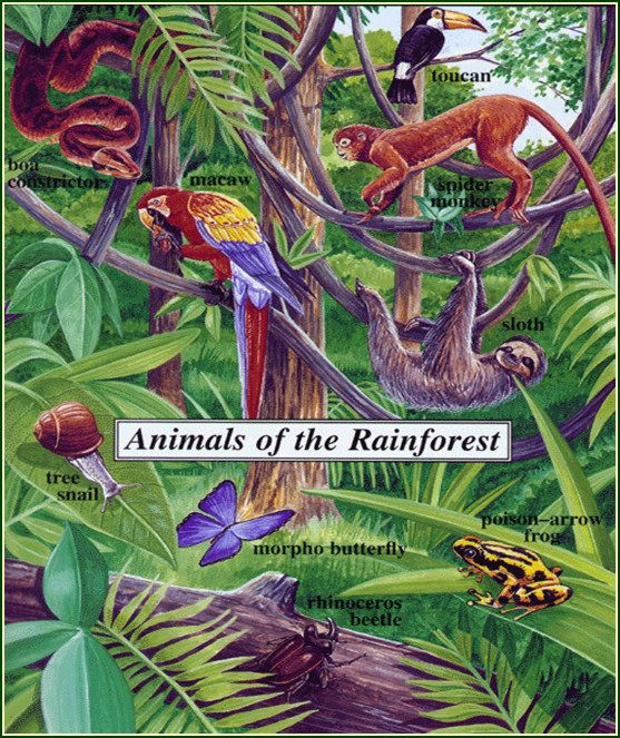 Animals of the Rainforest Rainforest animals, Rainforest