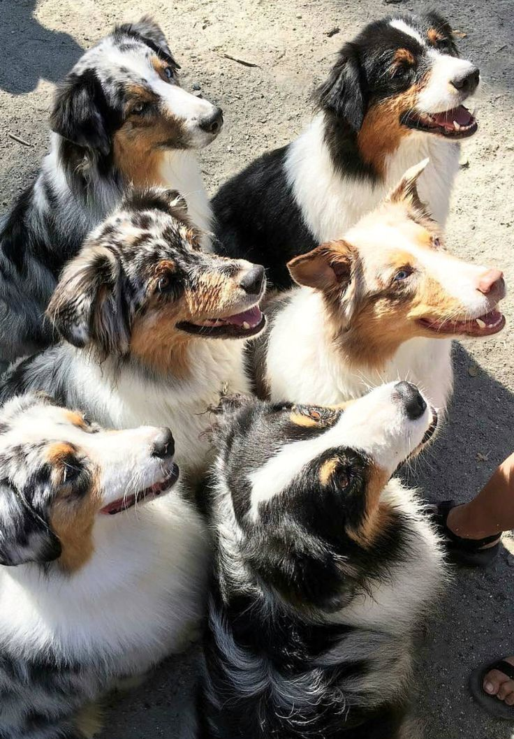 Pack of Aussies. I want them all!