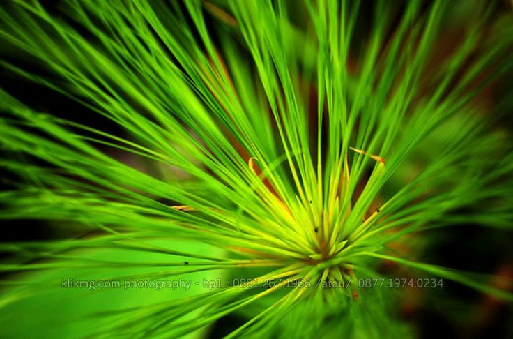 tengu.klikmg.com || Saya Namakan ini Rumput Jarum, daripada Tanpa Nama - Foto oleh : KlikMg Fotografi - Fotografer Purwokerto / Fotografer Banyumas. | Rumput Jarum ini menjadi object saya karena saya memang ingin menambah portfolio fotografi saya tidak hanya human tetapi juga flora-plant.