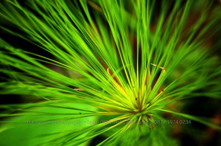 tengu.klikmg.com    Saya Namakan ini Rumput Jarum, daripada Tanpa Nama - Foto oleh : KlikMg Fotografi - Fotografer Purwokerto / Fotografer Banyumas.   Rumput Jarum ini menjadi object saya karena saya memang ingin menambah portfolio fotografi saya tidak hanya human tetapi juga flora-plant.