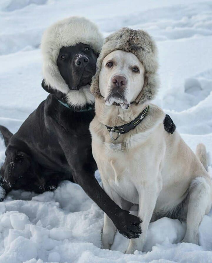"""15.9k Likes, 436 Comments - World of Labradors (@worldoflabs) on Instagram: """"""""Weather forecast in Irkutsk, Russia (Siberia): up to -40°C this upcoming weekend. Menfis and Tokyo…"""""""