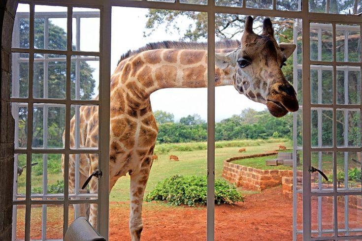 Завтрак с жирафами в необычном отеле Giraffe Manor, Кения. Фото