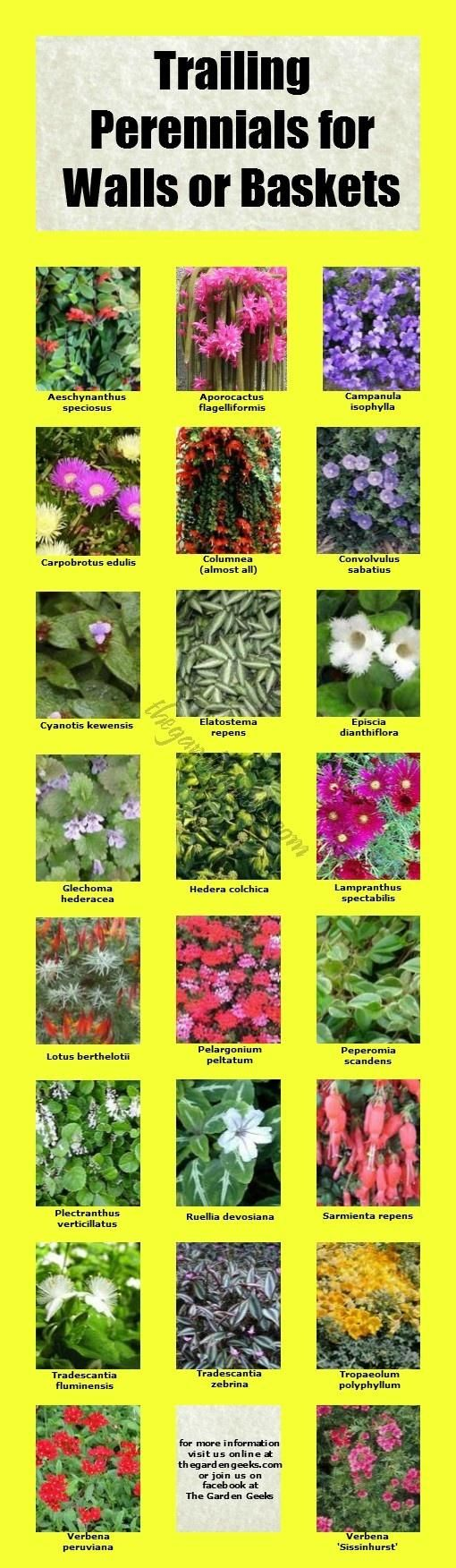 Trailing Perennials for Walls and Baskets | thegardengeeks: Gardens Beds, Mornings Glories, Gardens Idea, Flower Gardens, Gardens Geek, Gardens Yard, Trail Perennials, Diy'S Gardens, Hanging Baskets