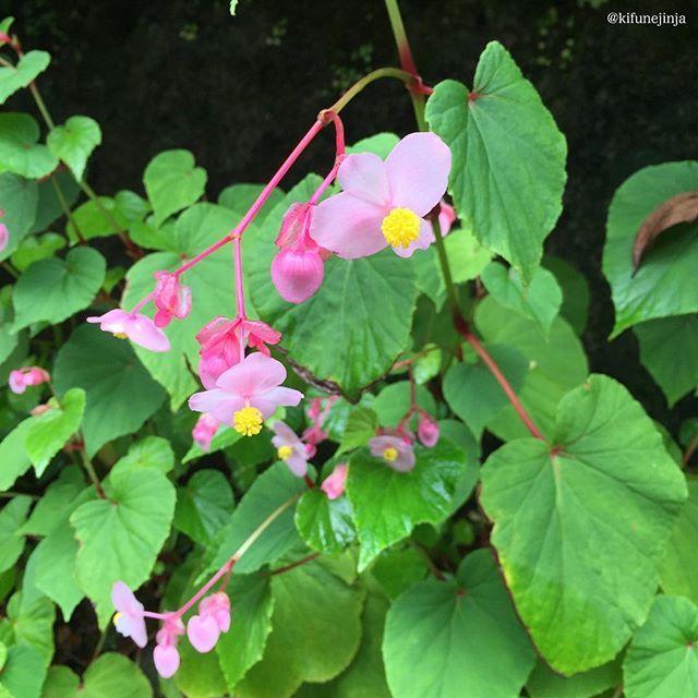 平成28年 9月22日  本日は二十四節氣のひとつ【 秋分 】  明治時代、秋分の中日を「秋季皇霊祭」と定められ、 宮中において祖先を祭る日となった事がきっかけで、 一般的に国民の間でも、そのように定着しました。 お彼岸は日本独自の先祖供養の祭りの日であり、 秋の豊作を感謝する自然信仰の意味合いもあります。  また、国民の祝日のひとつである「秋分の日」は、 「祖先を敬い、亡くなった人の御霊を偲ぶ日」として 親しまれています。 まさしく「命のつながり」を実感することであり、 夏の暑さの名残を感じつつ、 涸れることのない御神水を戴き、 今を生きている命に感謝し、 今を喜びながら生きましょう。  #氣生根  #貴船  #貴船神社  #kifune  #kifunejinja #秋分  #二十四節氣  #秋海棠  #シュウカイドウ  #貴船街道 kifunejinja
