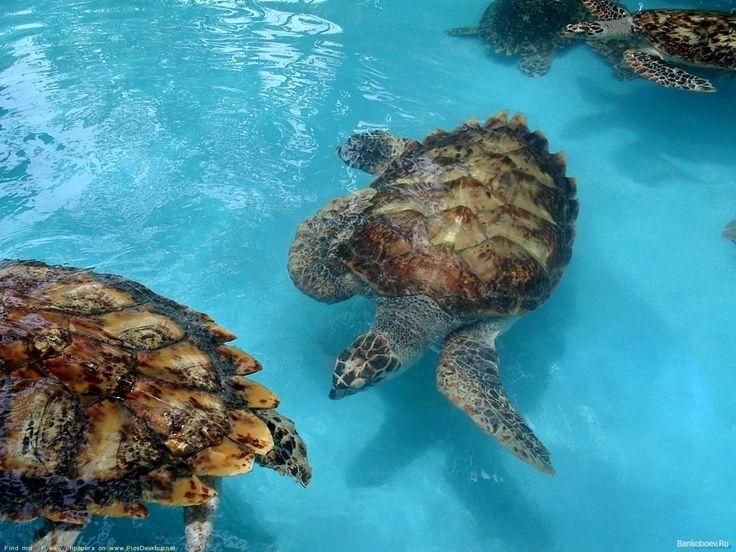 обои Морские черепахи фото