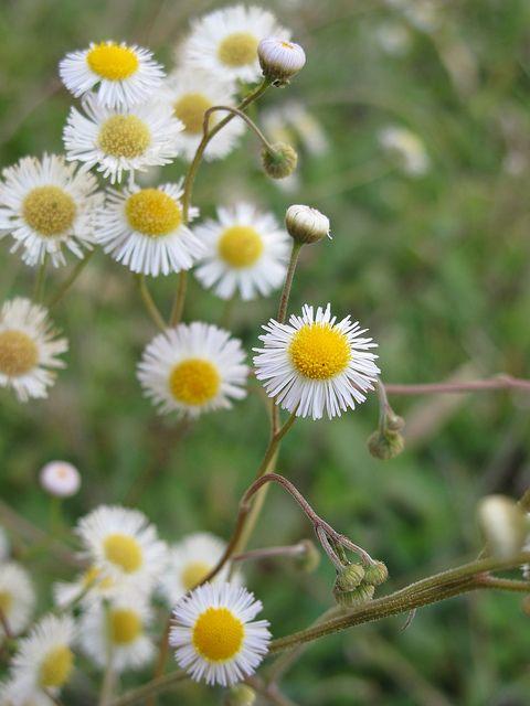 17 best images about native fl plants on pinterest