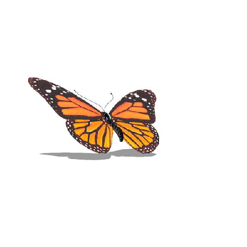 бабочка.gif