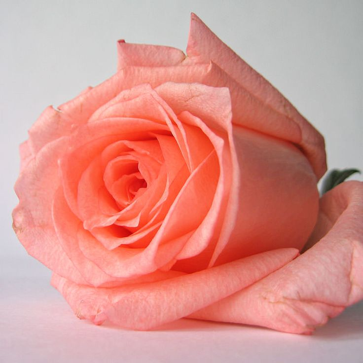 Укореняем черенки роз — FloweryVale.ru