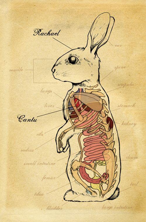 rabbit medical illustration