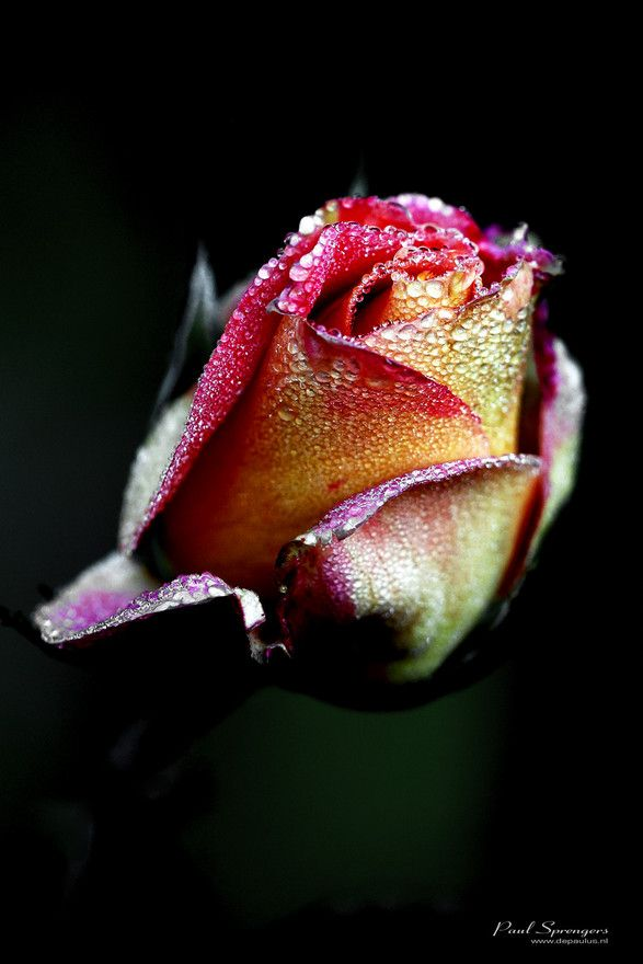 kasteel 23 10 11 05  by depaulusPhotos, Kasteel 23, Single Rose, Awesome Macro, Macro Photography, Macro Shots, Kisses Rose, Dew Kisses, Photography Inspiration