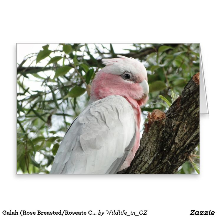 Galah (Rose Breasted/Roseate Cockatoo) Greeting Card - Australian Wildlife. Click on photo to view item then click on item to see how to purchase that item. #greetingcard #postcard #galah #roseatecockatoo #wildlife #australianwildlife #zazzle