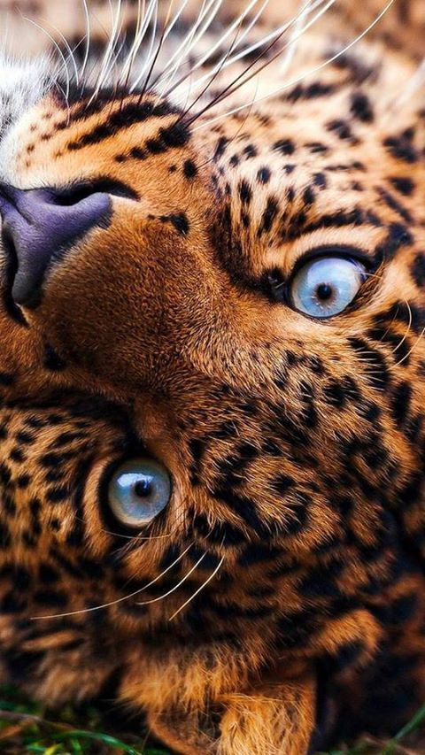 Awesome leopard eyes
