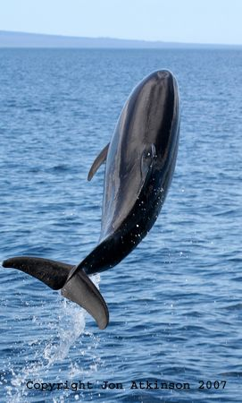 A bottlenose dolphin leaps into the air, Isla Fernandina: The bottlenose dolphin is perhaps one of the most well known cetaceans, because of its widespread use in marine parks and research facilities
