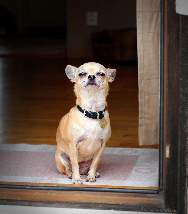 Smooth Coated Chihuahua at the door. Photo by Åsa Zandelin