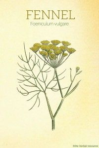 Fennel Herb - Side Effects, Uses and Benefits