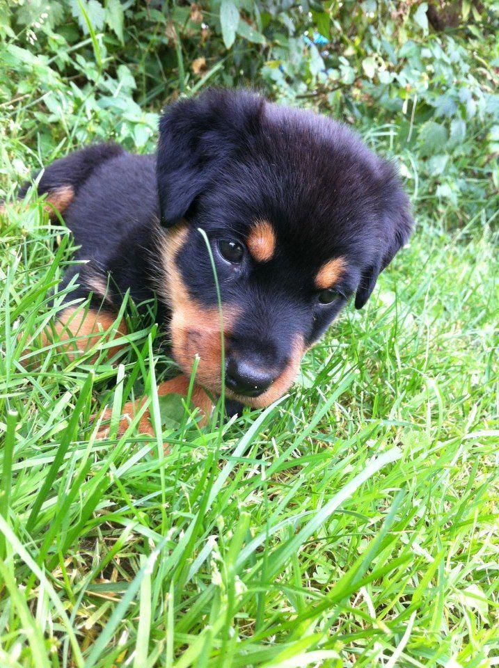 Rottweiler Pup These Guys Grow Up With Some Pretty Strong Teeth