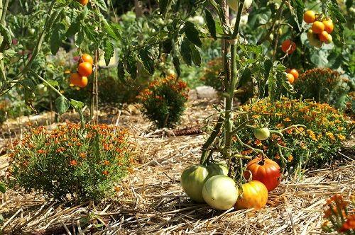 Si vous avez décidé de créer dans votre jardin un carré potager bio ou si vous en avez déjà un mais souhaitez passer au jardinage biologique, voici quelques règles de base. L'essentiel enjardinage biologique est de respecter le sol, de comprendre et s'inspirer de la nature. La règle es…