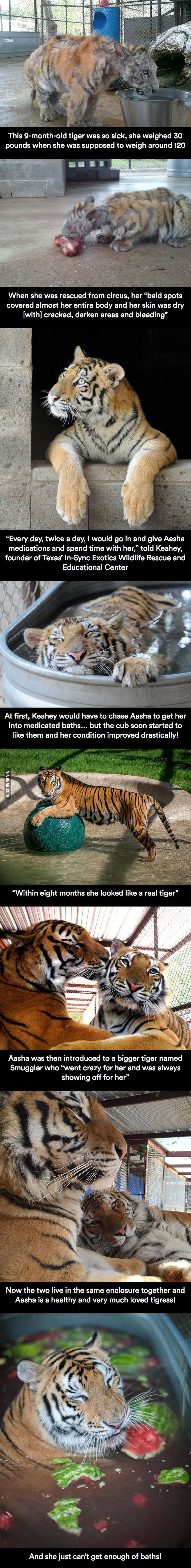 Beautiful story! Sick Tiger Cub Gets Rescued From Circus, Makes Incredible Recovery And Finds…