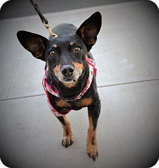 Chandler, AZ - Miniature Pinscher. Meet Mochi, a dog for adoption. http://www.adoptapet.com/pet/16613648-chandler-arizona-miniature-pinscher