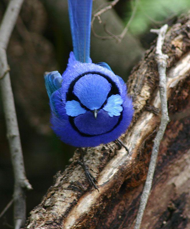 Hope to spot a cheeky Fairy Wren down under. According to my friend, Zahir, the female Fairy Wren can be quite the player!: Blue Velvet, Splendid Fairies, Friends, Birds Pictures, Beauty Birds, Vintage Wardrobe, Fairies Wren, Westerns Australia, Fairywren