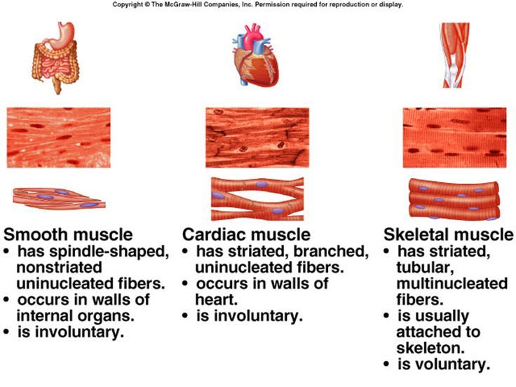 Three Types Of Muscle Tissue Iilyear4 Types Of Muscles Tissue Biology Human Anatomy And Physiology