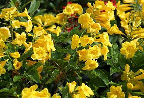 1000 images about tx yard on pinterest yellow bells drought tolerant butterfly friendly mightylinksfo