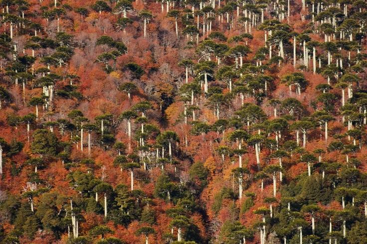 """Los colores del otoño en el Parque Nacional Conguillío forman un particular """"mosaico de árboles"""" en las montañas del sur de Chile."""