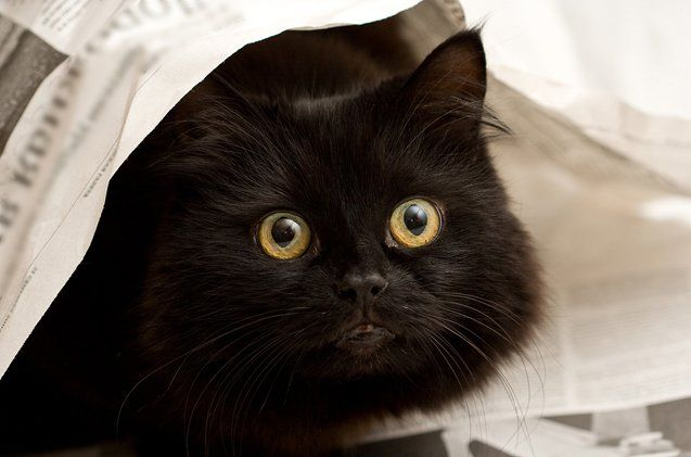 Today is National Black Cats Day! Here are some myths we'd like to debunk!