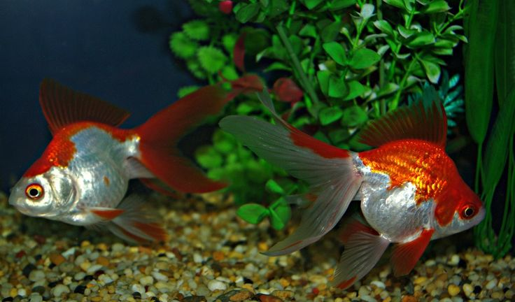 Windsor Fish Hatchery Store - goldfish for sale. Ryukin 12cms plus 30g hikari goldfish staple