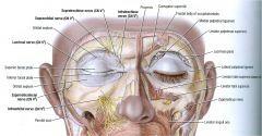 Supraorbital nerve (V1 opthalmic)