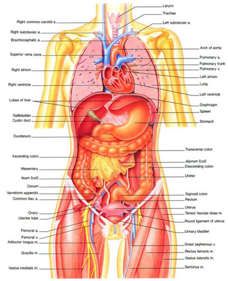 Female Human Body Diagram Of Organs Human Body Inner Diagram Anatomy