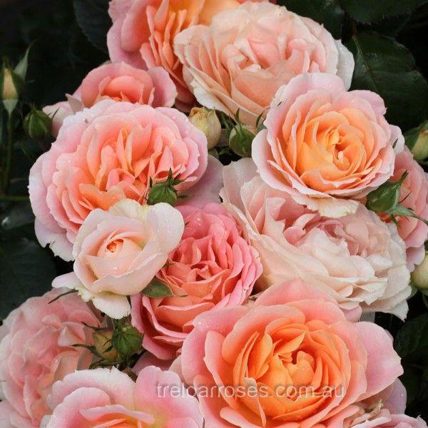 Peach Profusion - Treloar Roses - Premium Roses For Australian Gardens