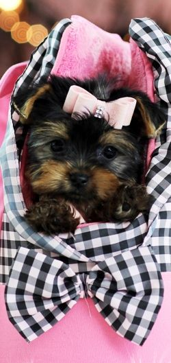 Teacup Yorkies For Sale, Teacup yorkie dogs