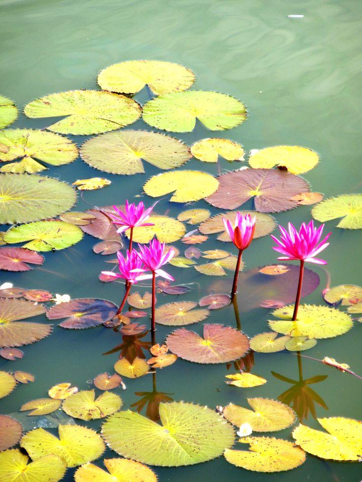 Fleurs de lotus, Vietnam