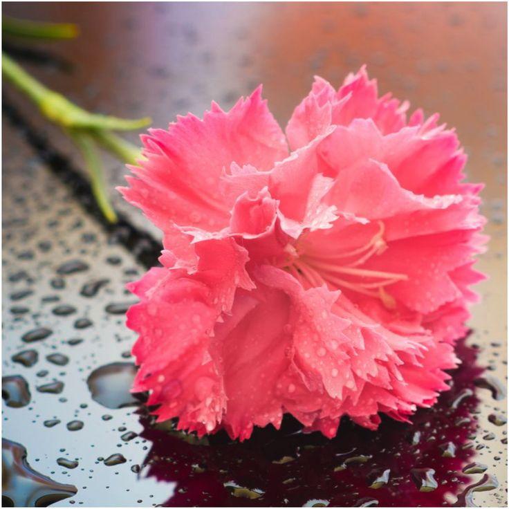 Grenadin Rose Carnation Seeds (Dianthus caryophyllus)
