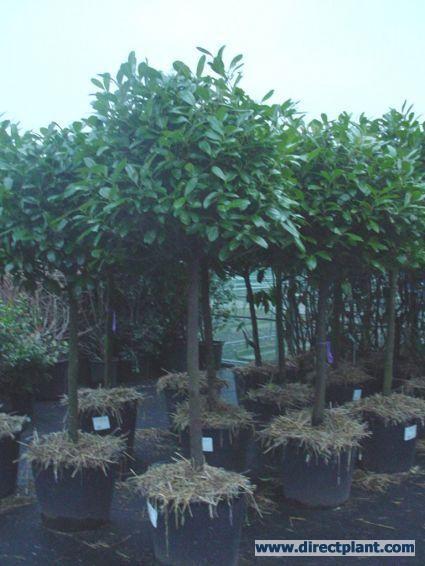 De prunus op stam ideale boom als schutting. Ze zijn er ook geleid en zijn blijvend groen.