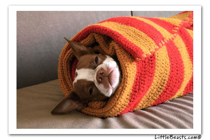Before I die, I want to have a female red Boston Terrier. I'll name her Penny. And wrap her up like a burrito.