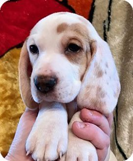ST LOUIS, MO - Basset Hound/Beagle Mix. Meet 10 ADORABLE BUGABOOS, a puppy for adoption. http://www.adoptapet.com/pet/17735993-st-louis-missouri-basset-hound-mix