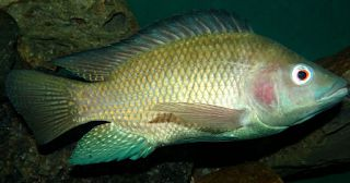 be healthy-page: Why You Should Never Eat Tilapia